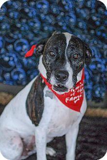 American Bulldog Dog For Adoption In Tampa Florida Malachi Jw
