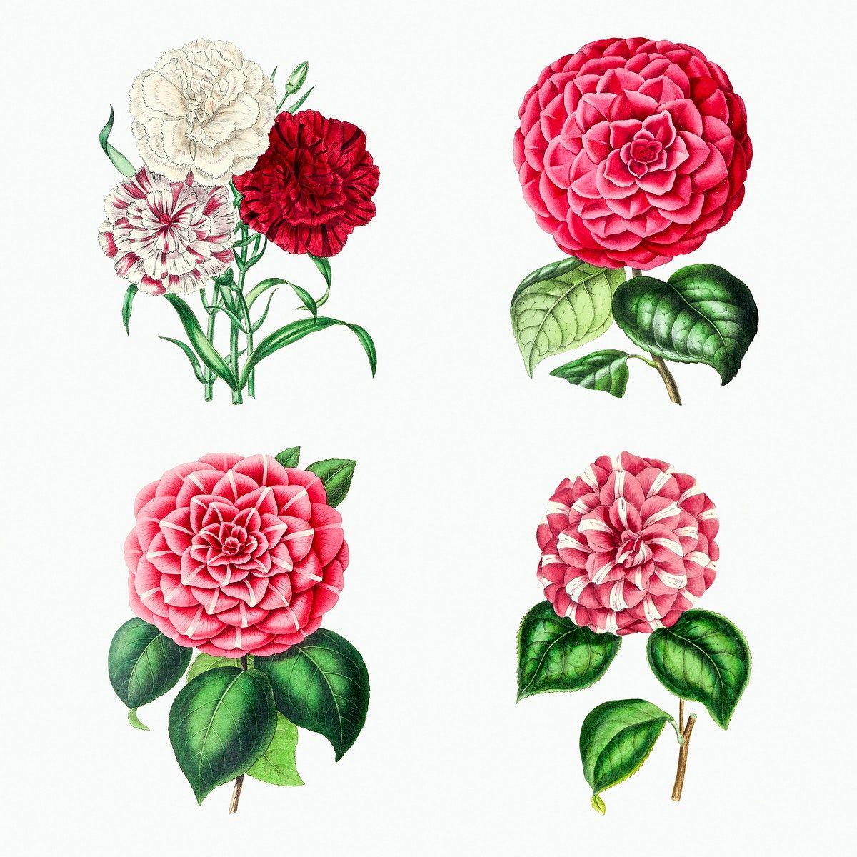 Download Premium Illustration Of Hand Drawn Camellia Flower Design Element In 2020 Design Element Camellia Flower Botanical Illustration Vintage