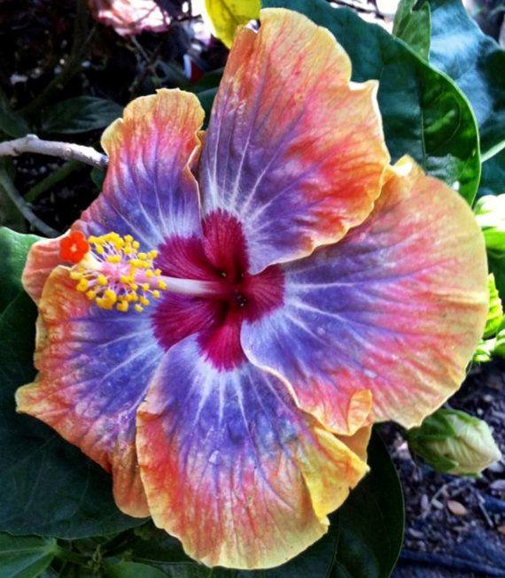 Hibiscus Sp Voodoo Queen Cajun Series Tropical By Bonniesgarden Hibiscus Plant Hibiscus Rosa Sinensis Flower Seeds
