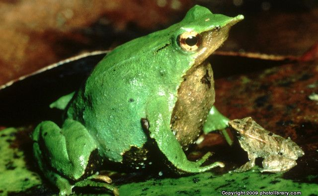 Top 10 Animal Dad's | Top Ten List Animal Dads – darwins frog