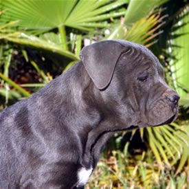 Pacifica Cane Corso With Images Cane Corso Cane Corso Puppies Breeds