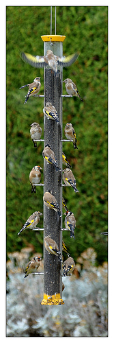 Happy Birds - Super Birdfeeder  Explored 20th Nov 2013 #65