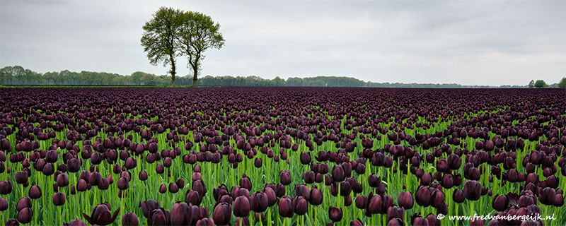 zwarte tulpen - Google Search