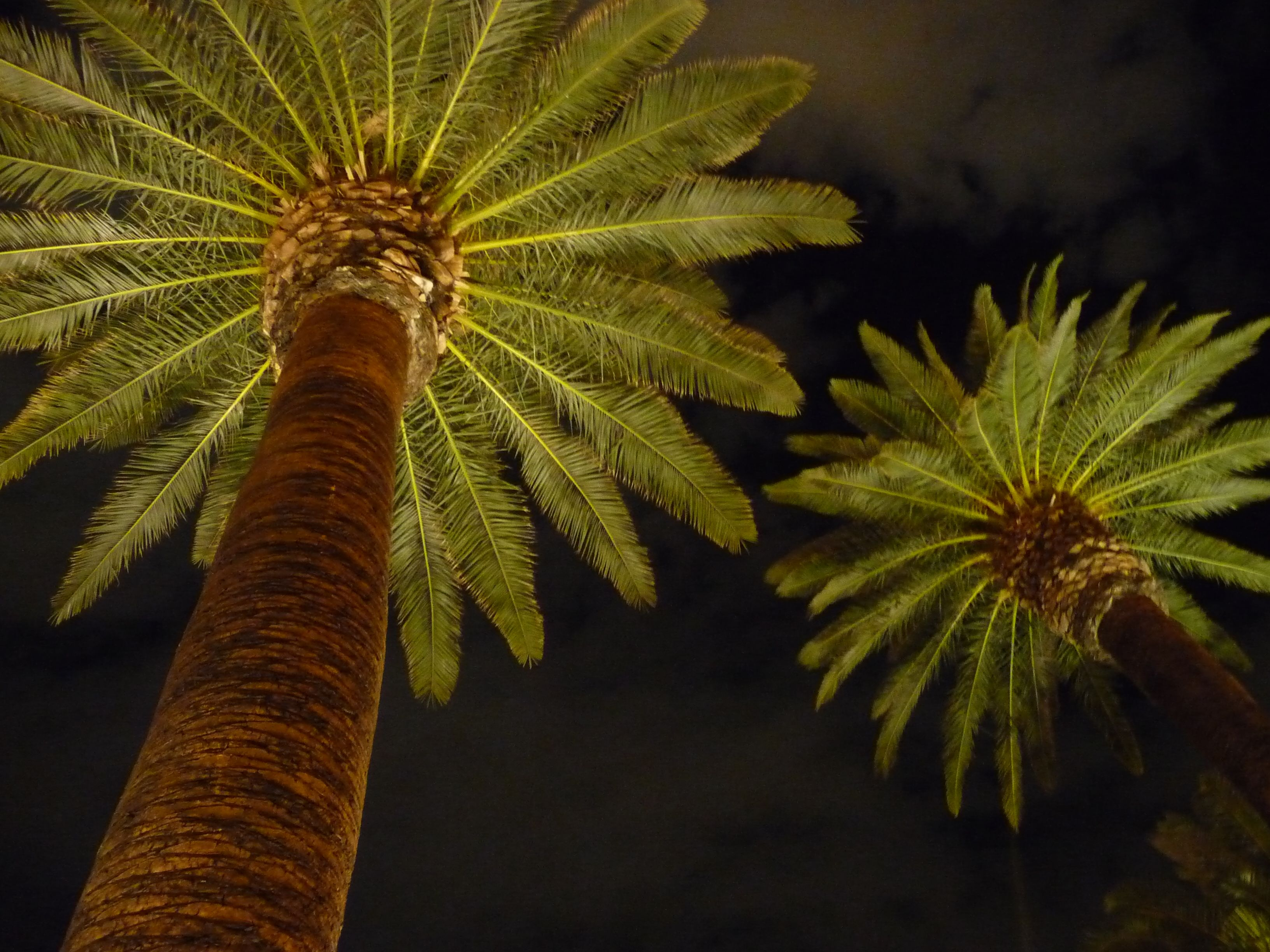las vegas palm trees at night i took in my convertible palms