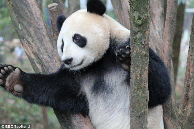 Alright, mate! Reclusive giant pandas may not be quite as solitary as we thought, research...