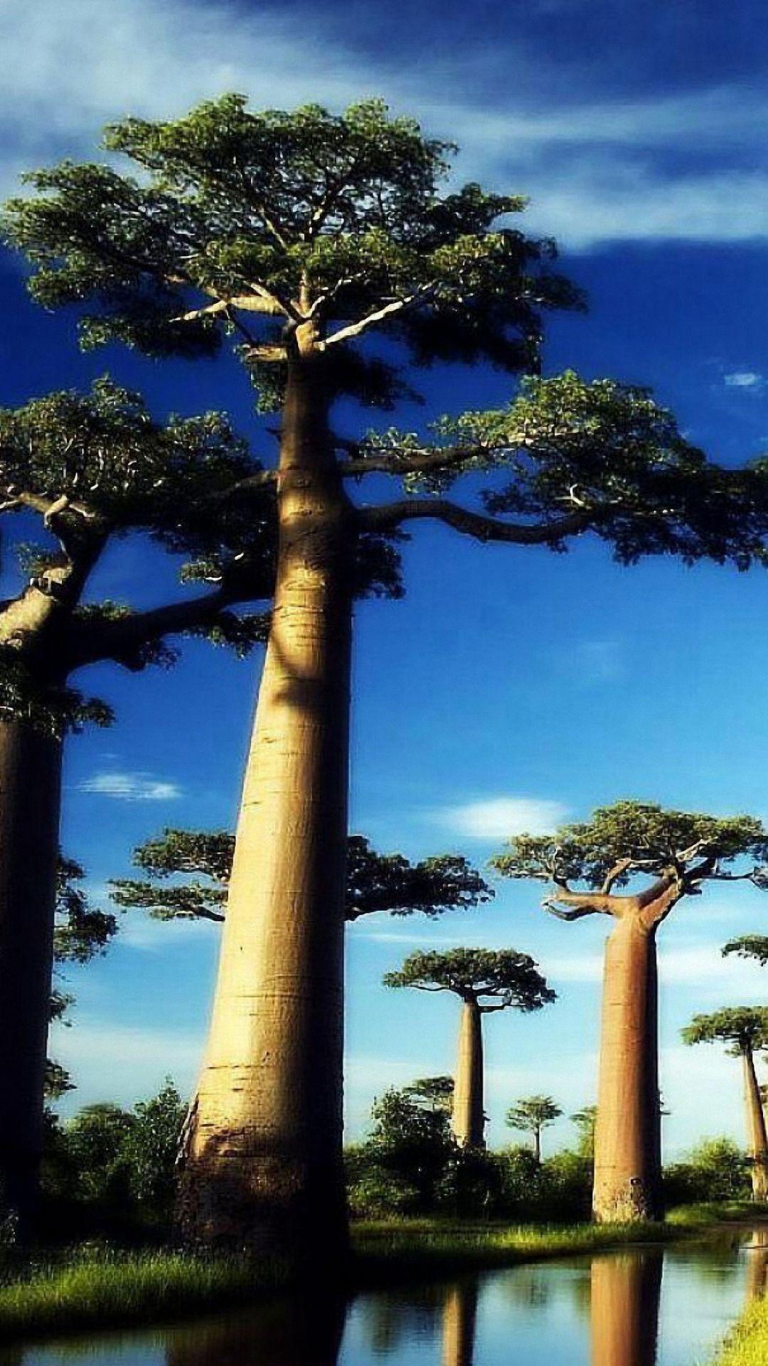 cool big tree iphone 6 wallpapers HD Tree wallpaper