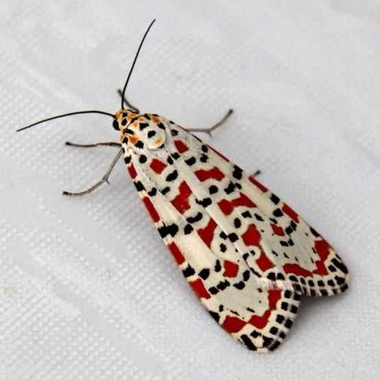 African Crimson Specked moth. What the queen of hearts as a butterfly would look like