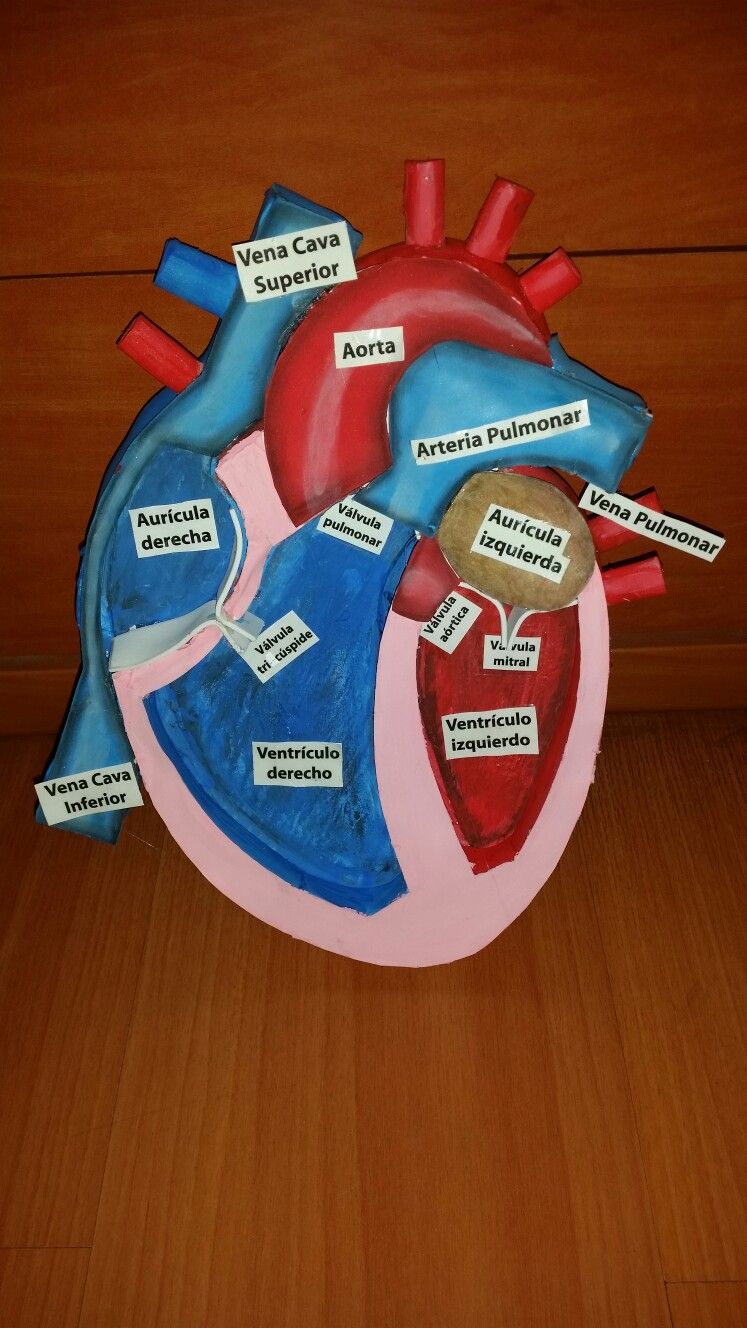 Maqueta Corazon Anatomía Médica Proyectos De Ciencia Para Niños Proyectos De Biología