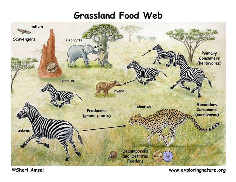 This is an African Savanna Food Web. See if you can ... Grassland Secondary Consumers