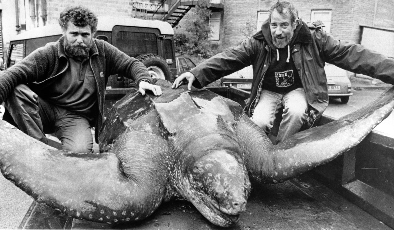 biologicalmarginalia: The Harlech Turtle, a 916 kg Leatherback Seaturtle  that washed up in Wales in 1988. Some sources (su… | Leatherback turtle,  Pet birds, Turtle