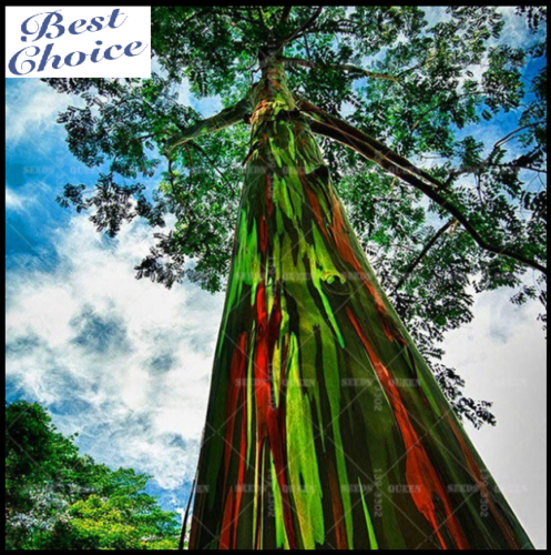 200 Bag Rare Rainbow Eucalyptus Deglupta Showy Tropical Tree Seeds For Garden Rainbow Eucalyptus Rainbow Eucalyptus Tree Rainbow Tree