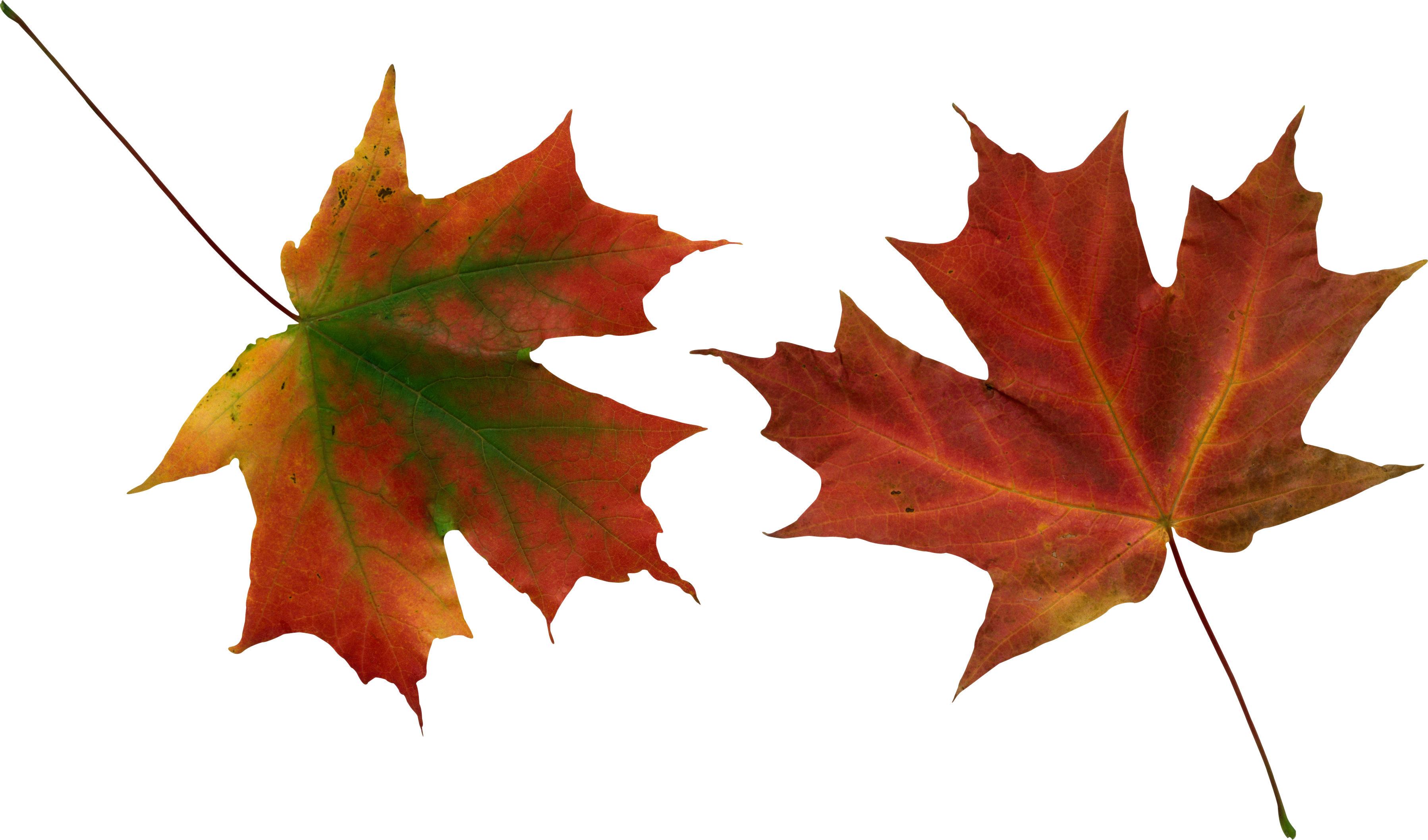 Autumn Leaves PNG Image | Autumn leaves, Leaves vector, Leaves