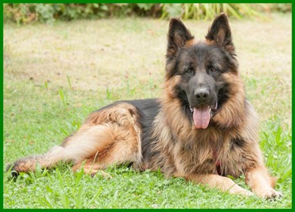 Askan Reinrassiger Langhaariger Schaferhund 2 Jahre Tierhi In Bayern Lauf A D Pegnitz Mischlinge Und Mischli Langhaar Schaferhund Schaferhunde Hunde