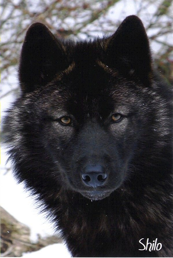 Black Wolf Shilo In Color By Shadowofmystery Lakota Wolf Preserve Colombia Nj Black Wolf Wolf Dog Wolf