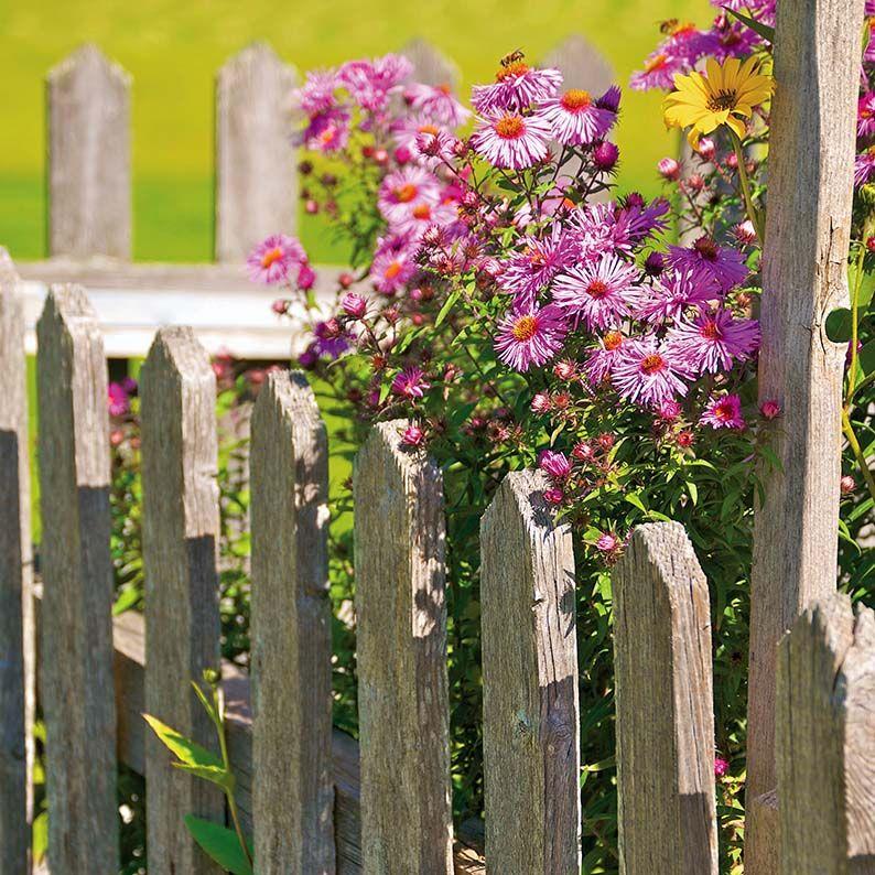 Astry W Ogrodzie Aster Gawedka Kwiaty Rosliny Ogrod Ogrody Aranzacje Projektowanie Flowers Ideas Garden Violet Plants Aster Jardin