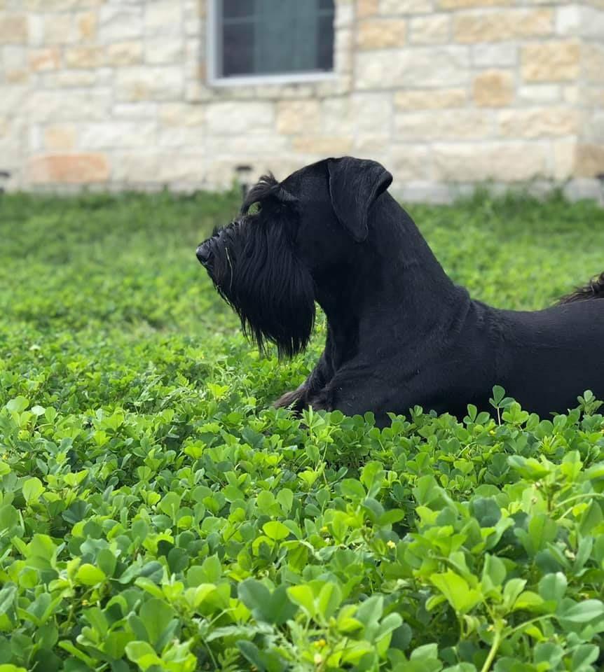 Standard schnauzer puppies for sale in texas
