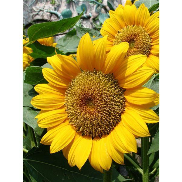 Sunflower Preschool Activity Learn About Sunflower Growth and Make a Paper Plate Craft  sc 1 st  Pinterest & I\u0027m a little sunflower song | flowers | Pinterest | Sunflowers ...