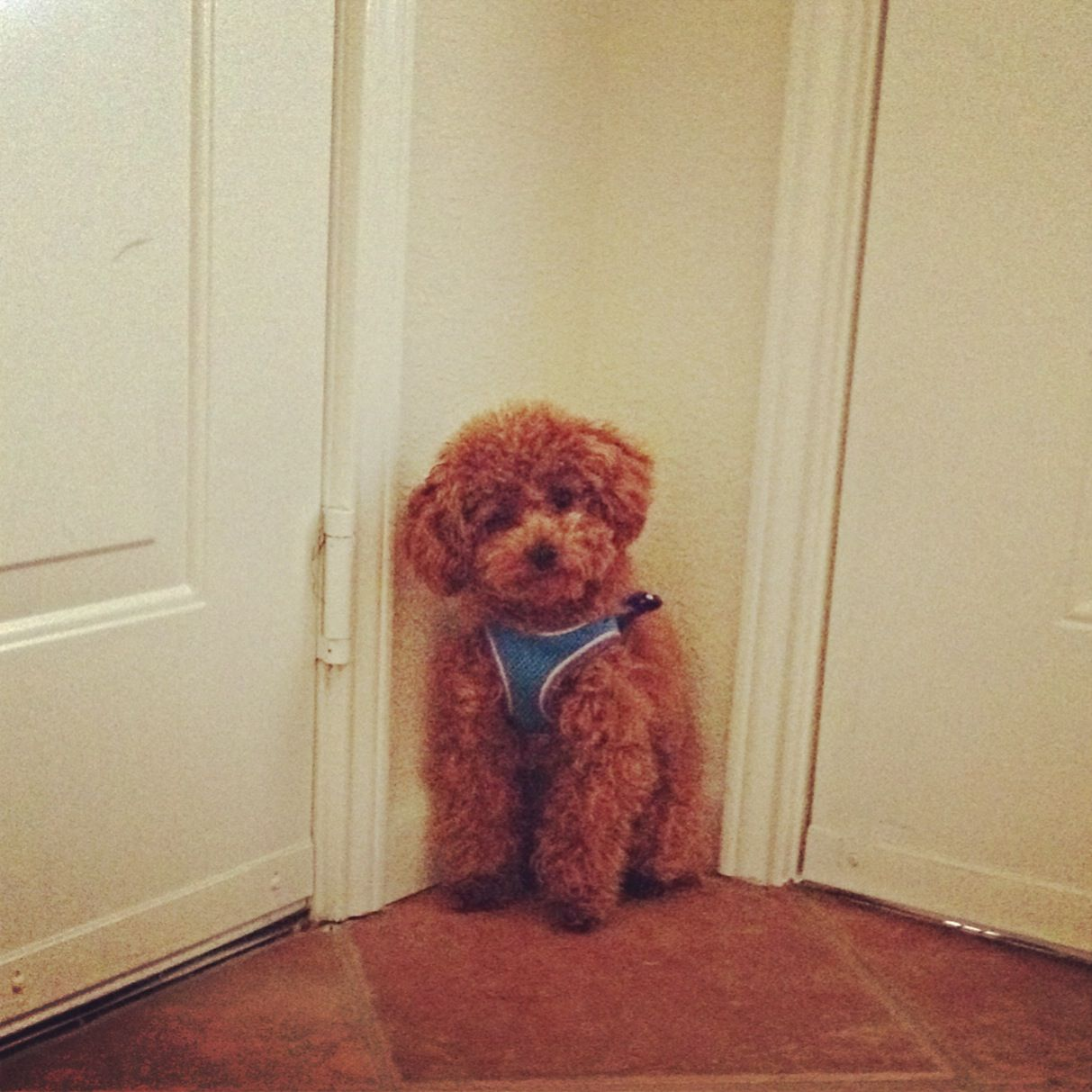Toy poodle weight at 4 months