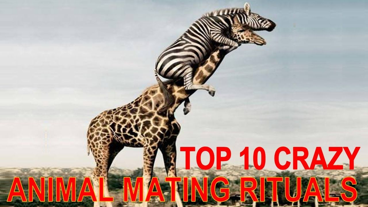 Top 10 Strangest Animal Mating Rituals You Won T Believe With