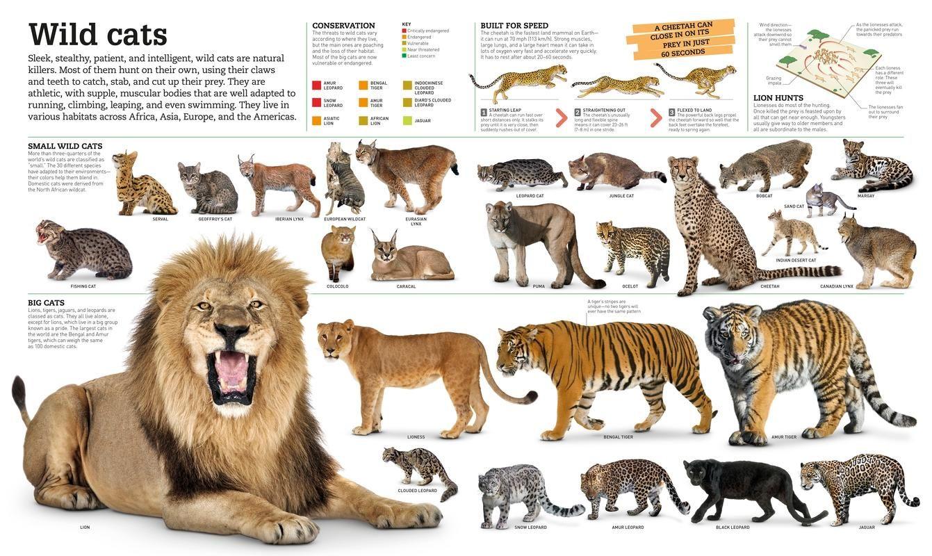 Pin By Carlton Noble On Interesting Kid Wild Cat Species Small Wild Cats Big Cat Species