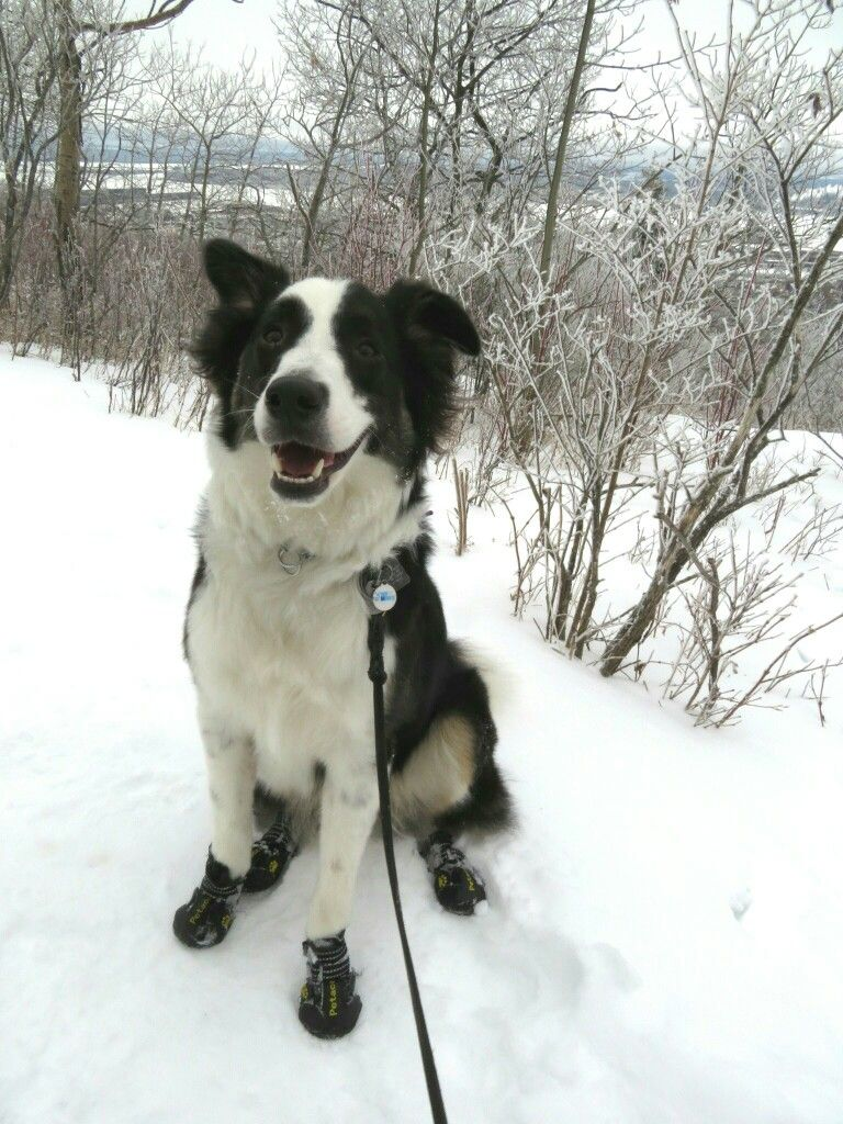One Year Old Tri Colored Border Collie Happy Birthday Hike Border Collie Collie Tri