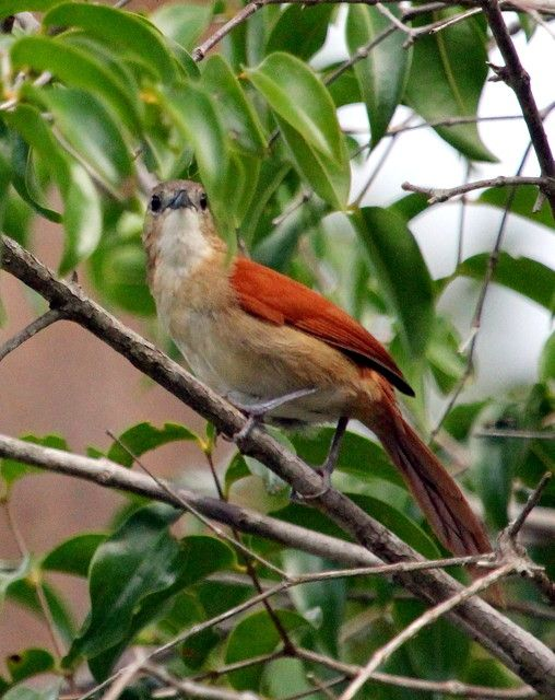 João do araguaia (Synallaxis simoni)