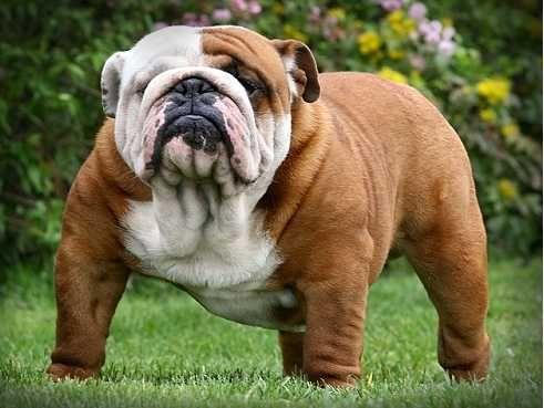 A Huge English Bulldog 3 Miniature English Bulldog Bulldog