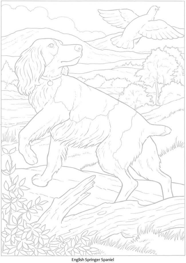 Coloriage Chien Springer.Epingle Par Marjolaine Grange Sur Chien Springer Spaniel Dog