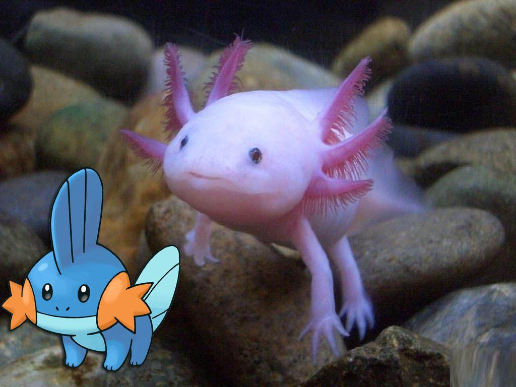Mudkip Axolotl 103 Pokemon That Exist In Real Life Axolotl