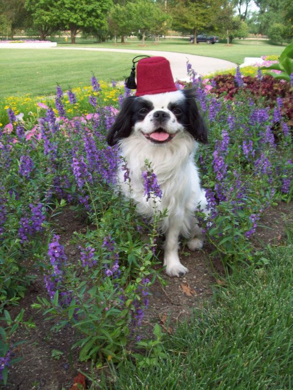 Dog Fez Dog Hat Small Burgandy Fez By Doginafez On Etsy 7 00