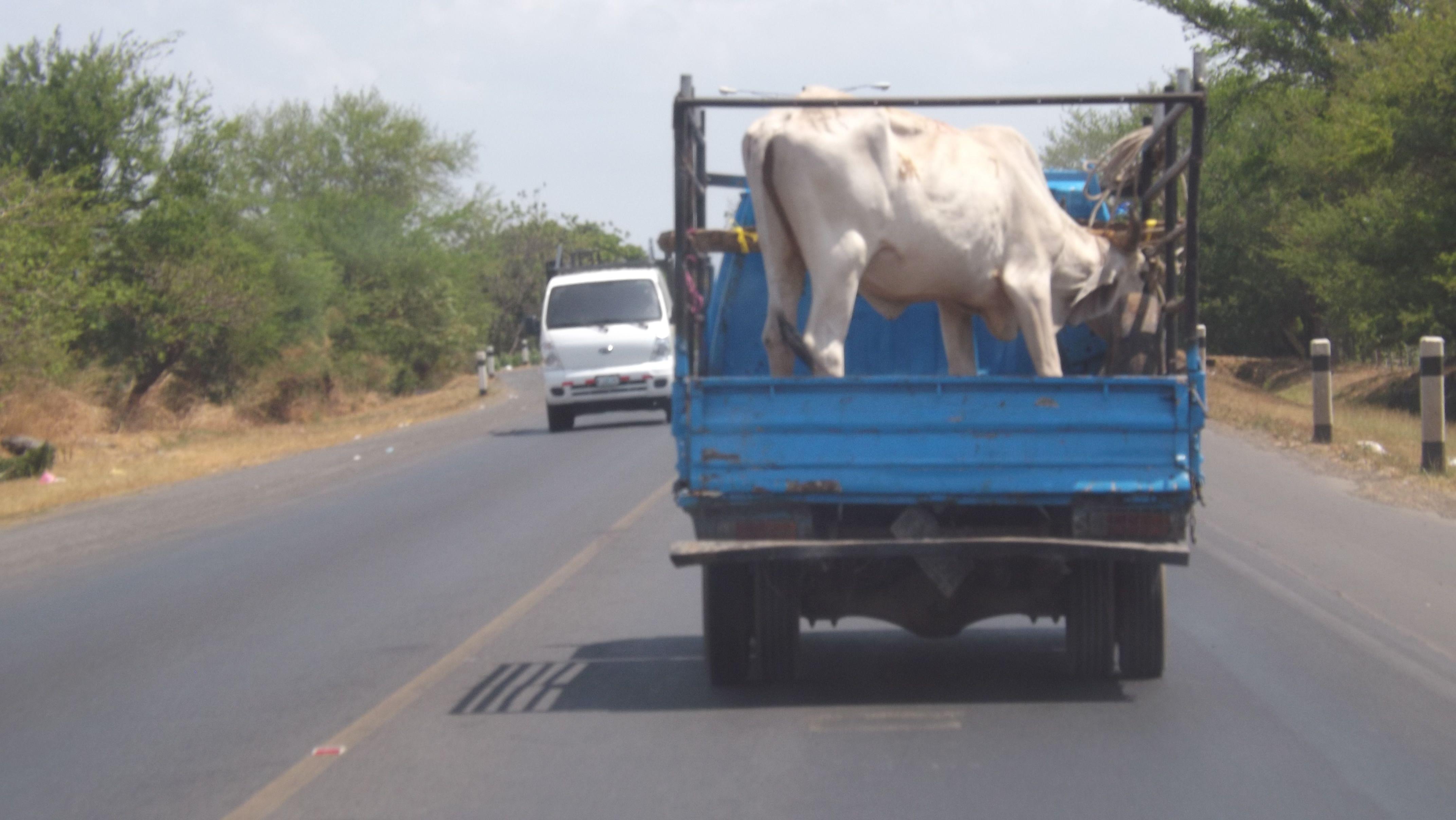 Transporte de ganado I