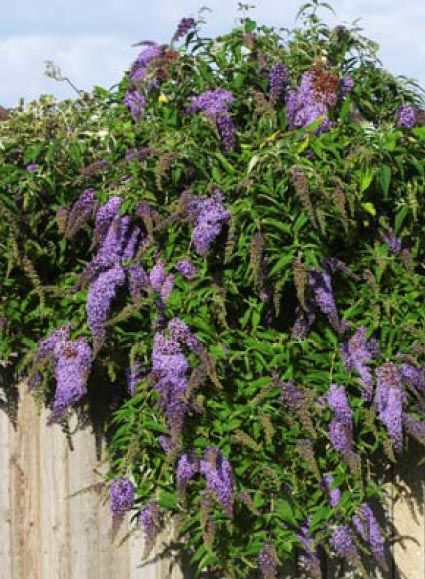 California Friendly Plant Butterfly Bush With Brightly Colored Flower C Drought Tolerant Landscape Front California Native Garden Drought Tolerant Landscape