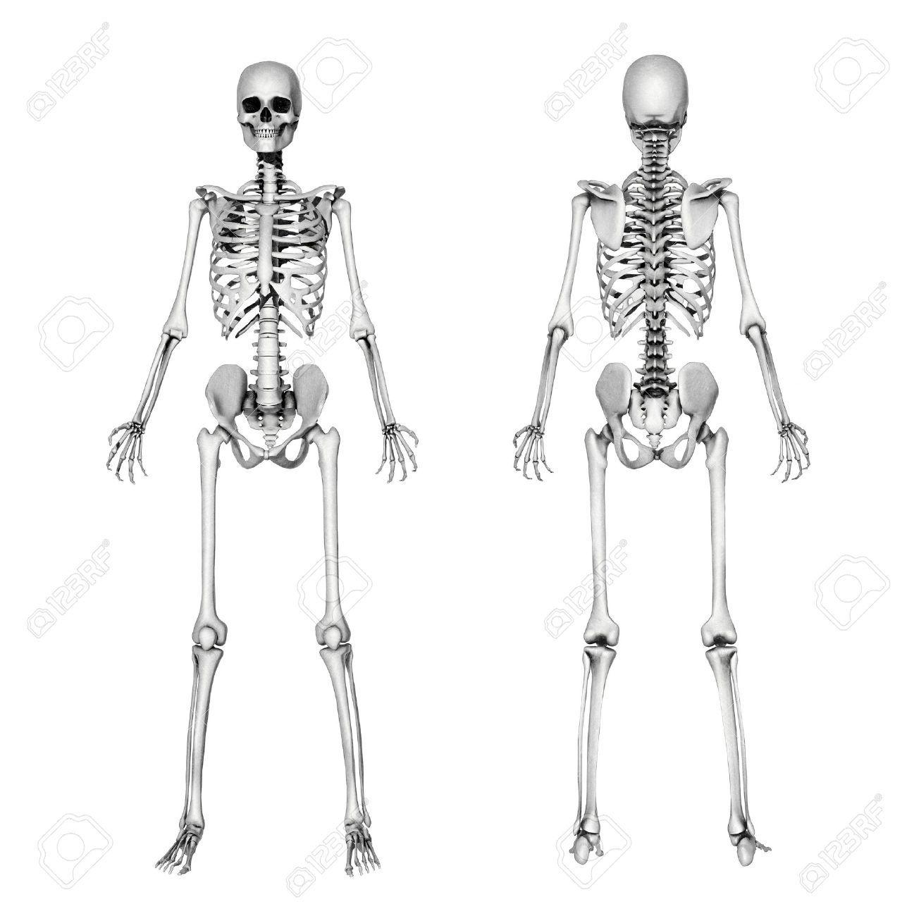 12100793-Un-esqueleto-femenino-delantera-y-trasera-Este-es-un-render ...
