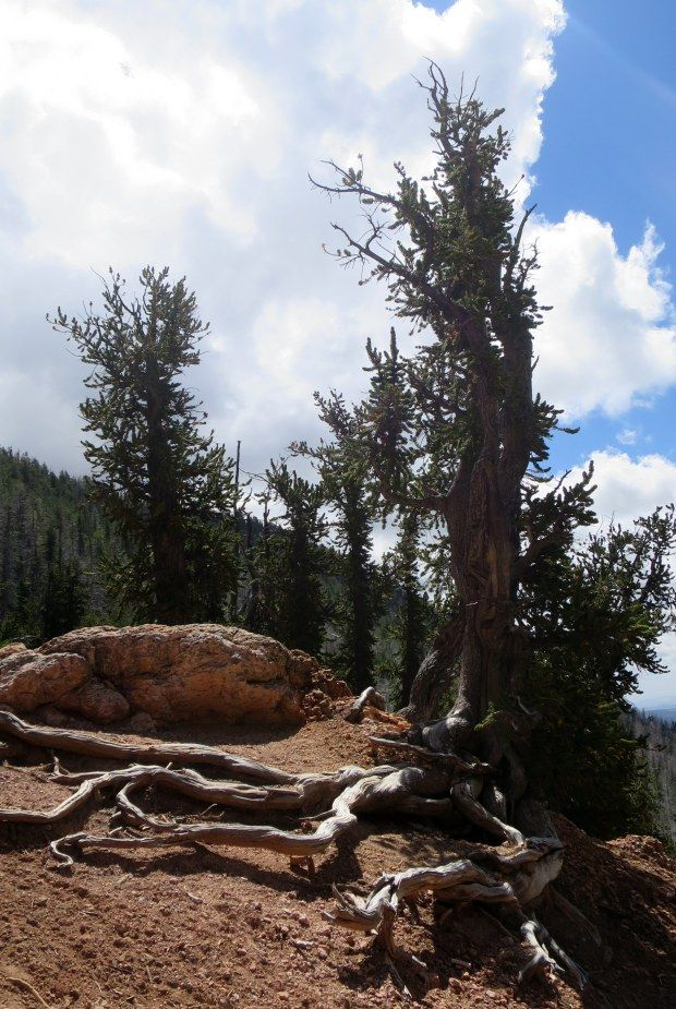 """""""Bristlecone pines are a hardy and frankly amazing species"""