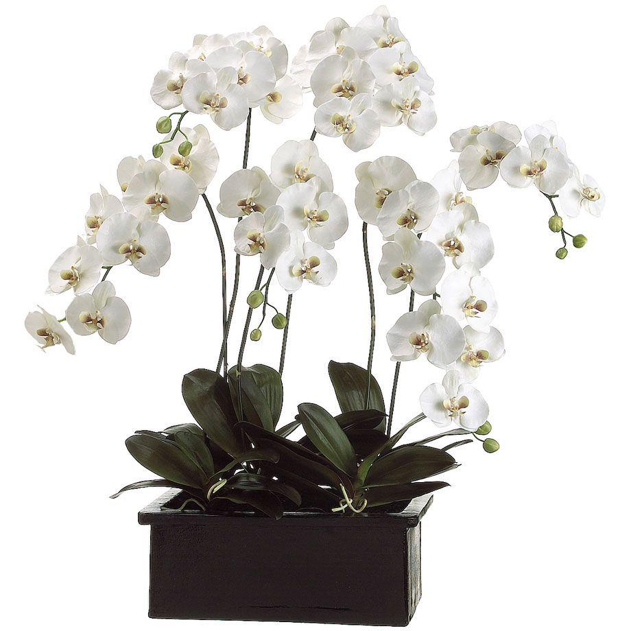 Large White Phalaenopsis Orchid Display Cuidado De Plantas - Orquideas-blancas-cuidados