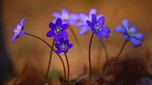 Das blaue Leberblümchen ist vom Aussterben bedroht und zur Blume des Jahres 2013 ernannt worden.