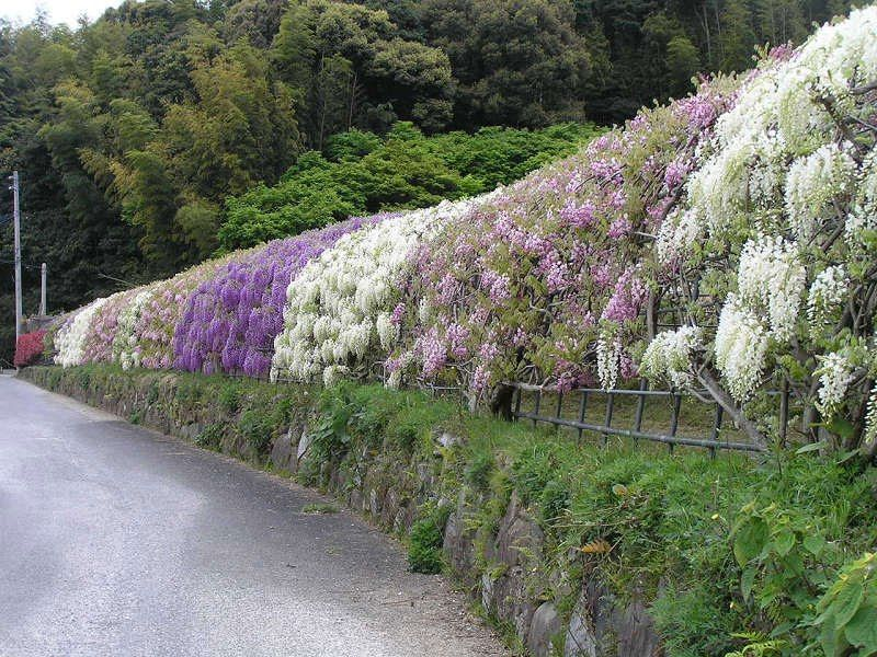 The Wisteria Flower Tunnel at Kawachi Fuji Garden | Green Spaces And ...