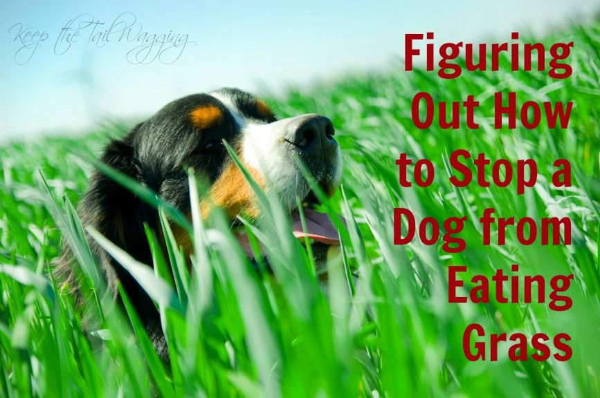 How to stop your dog from eating grass keep the tail