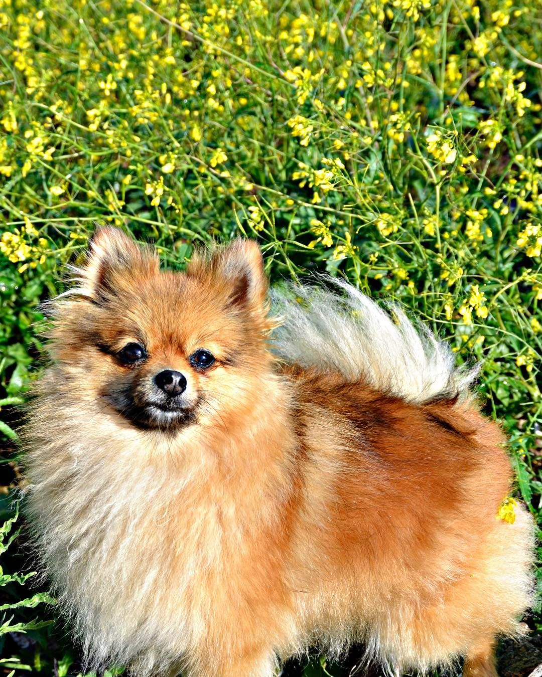 Happy thursday friends!! Tomorrow it's mom's university graduation  she's very excited and nervous  #sbspringtime @sniffandbarkens #vitjunk #outdoorpups #picsofallanimals #nature_cuties #nature #landscape #naturelovers #naturaleza #springtime #countryside #luludapomerania #pomeranian #7pets_1day #igworldclub_pets #my_pet_feature #excellent_puppies #igwoofs #dogsaremytherapy #dogsitting #dog_of_instagram #dogsamazingworld #dogsofinstaworld #my_pet_feature #royalcanin_es  Here's my…
