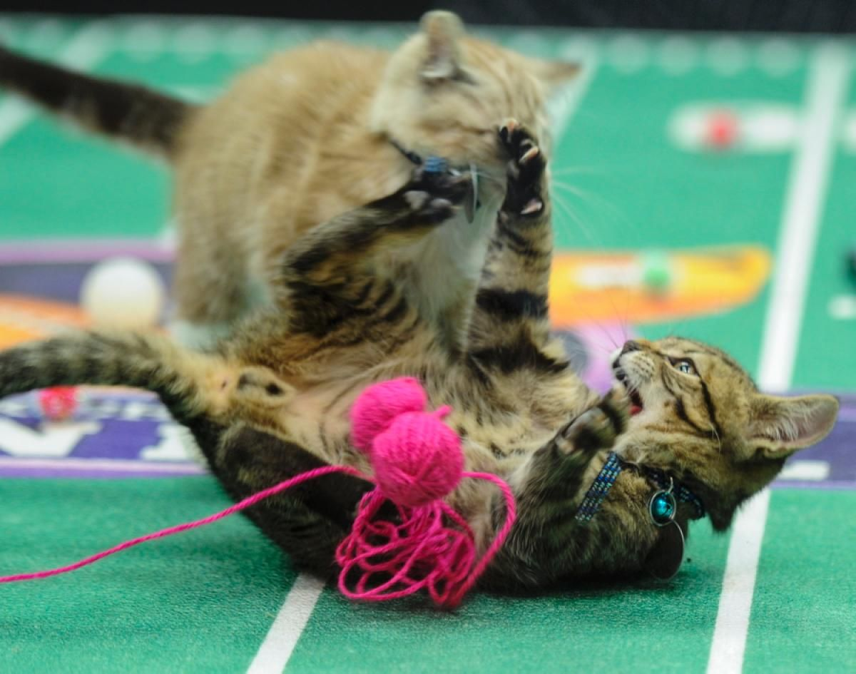 Fluffy Fumbles And Tiny Tackles Behind The Scenes At The Kitten Bowl With Images Kitten Bowls Kittens Animal League