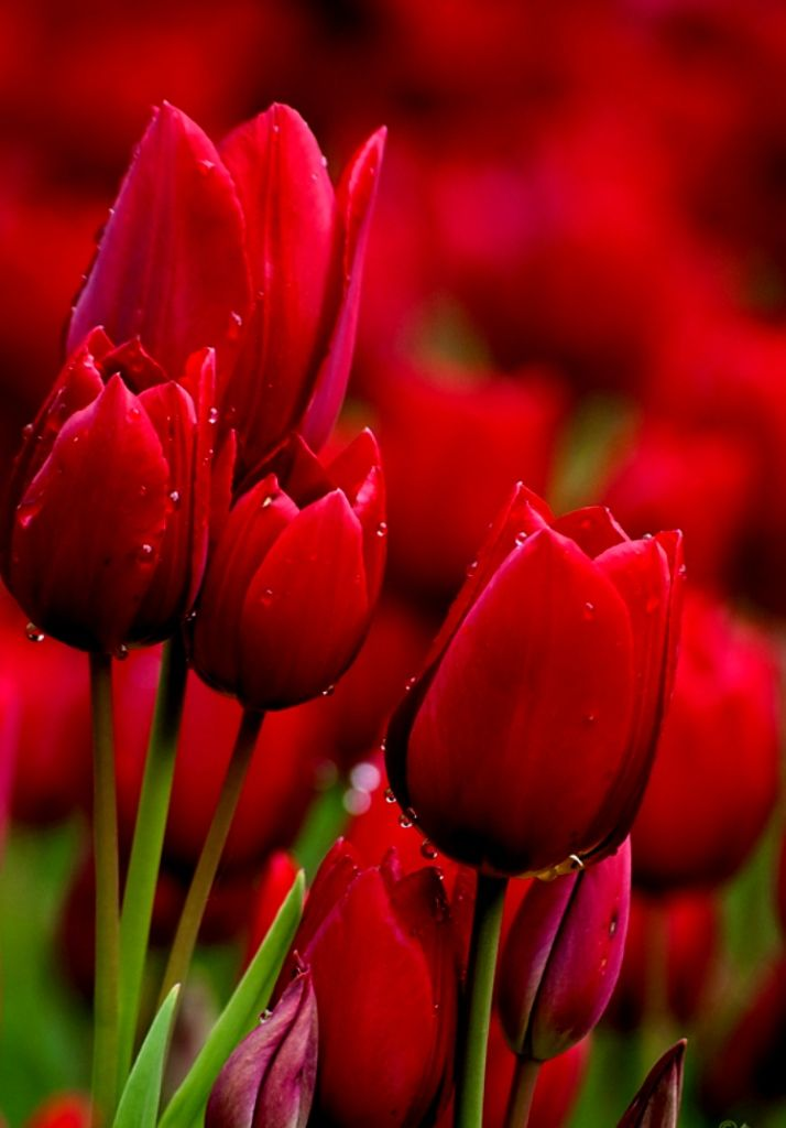 163 beautiful types of flowers a to z with pictures red tulips 163 beautiful types of flowers a to z with pictures mightylinksfo