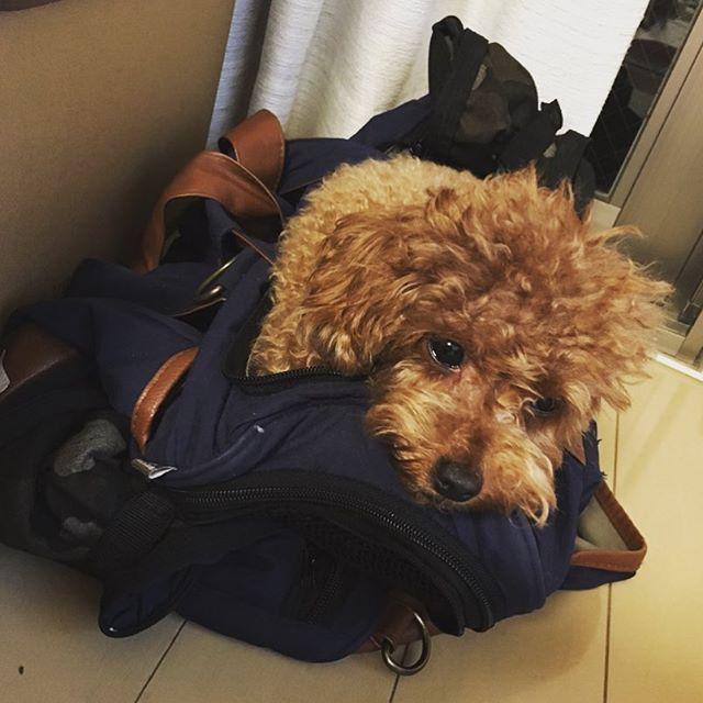 準備よしっ🐶! . . . 明日は自宅へ帰ります〜〜いそいそと私が荷支度をしていたらどっちゃん大焦り٩( ᐛ )و 置いていかれないようにバッグの上から動きません。(笑) どっちゃんには本当に申し訳ないけど、日曜日までお預けして帰るのです😱😱😱 ごめんねぇ😱😱😱 #トイプードル#トイプードルレッド #トイプードル部 #トイプー #トイプードル女の子 #トイプードル2歳 #toypoodle #teacuppoodle#dogstagram #instadog #instapoodle #dog #犬バカ部 #親バカ部 #ふわもこ部#愛犬#愛犬自慢 #todayswanko #きょうのわんこ #わんこなしでは生きていけません会 #鋭い #大きな荷物を用意すると大焦り #自らバッグイン #でも実は #お預けして帰ります #動かない #そこで寝るつもりかな #明日は大騒ぎだな