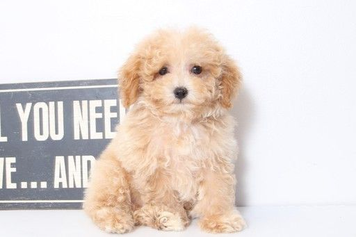 Poodle Toy Puppy For Sale In Mount Vernon Oh Adn 45667 On