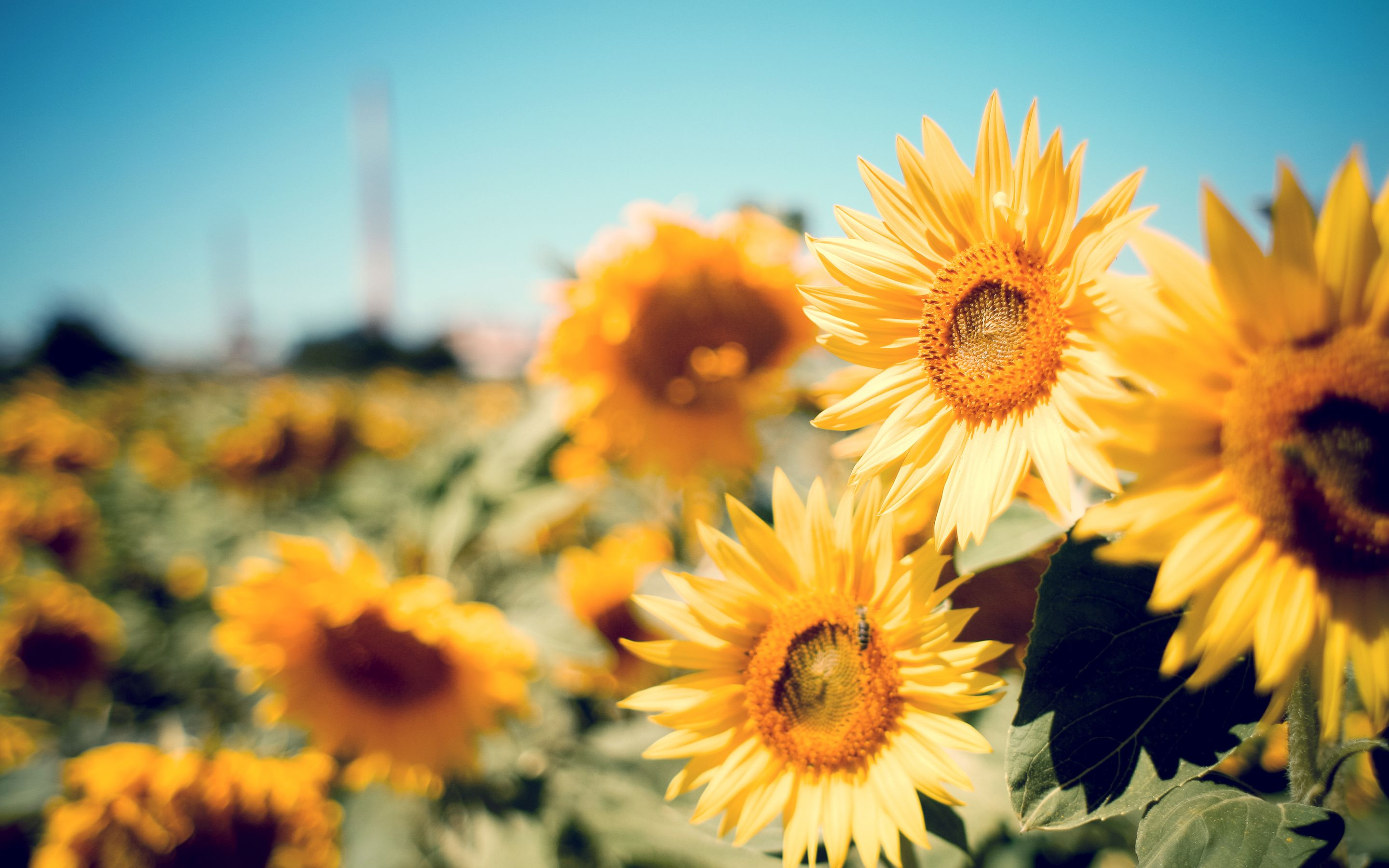 Sunflower Garden Wide Hd Wallpapers (High Definition