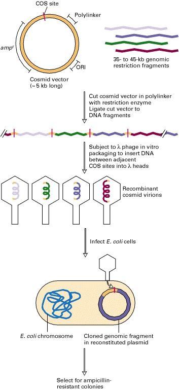Figure 7 16 General Procedure For Cloning Dna Fragments In Cosmid