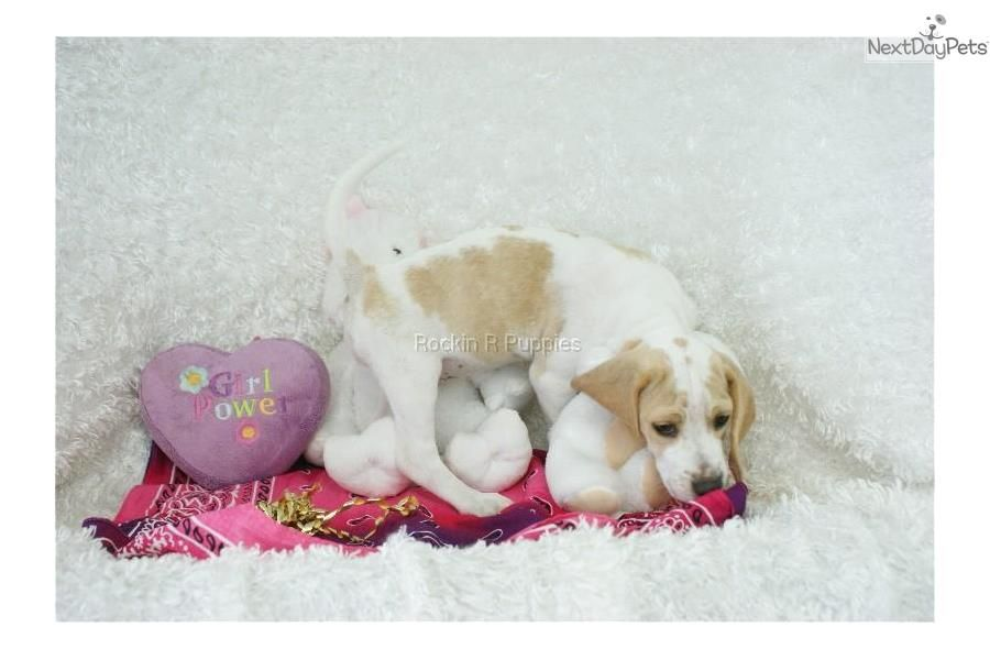 Meet Golden Girl A Cute Beagle Puppy For Sale For 950 Golden
