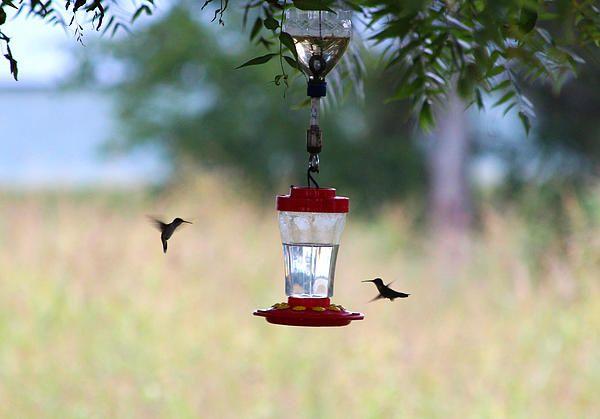 Two Feeding Hummingbirds