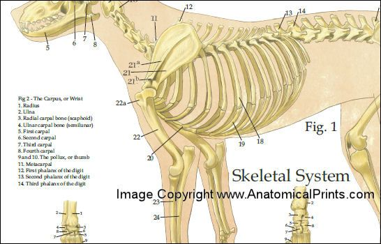 Dog Anatomy Poster 24 X 36 Animal Pinterest Dog Anatomy