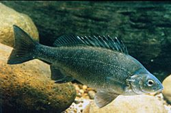 SILVER PERCH are the fish to stock in your dam in NSW as they eat a broader range of food, hence you can stock more fish and they will grow quicker then other fish in farm dams. Silver Perch also don't eat each other. SILVER PERCH are native to the western drainage system. SILVER PERCH...  Read more »