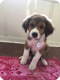 Pin On Aussie Puppies